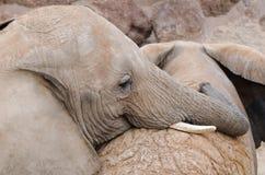 Couples des éléphants, jouant avec amour Image libre de droits