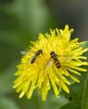 Couples des abeilles image libre de droits