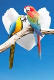 Couples des aras de perroquets images libres de droits
