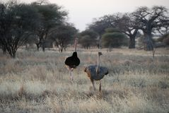 Couples des autruches, parc national de Tarangire, Tanzanie Image stock
