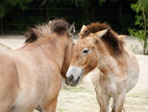 Couples des baisers de chevaux de przewalski Photo stock
