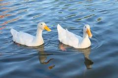 Couples des canards images libres de droits
