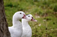 Couples des canards Image stock
