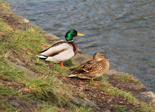 Couples des canards de Mallard Photographie stock