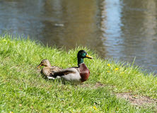 Couples des canards de Mallard Photos stock