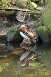 Couples des canards de mandarine Images stock
