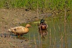 Couples des canards du côté d'un étang Image stock