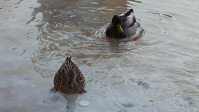 Couples des canards nageant dans l'eau Photos libres de droits