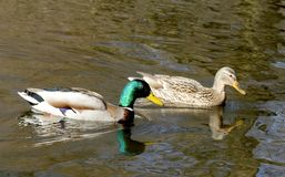 Couples des canards sauvages image stock