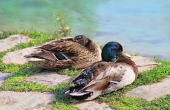 Couples des canards sauvages Photo stock