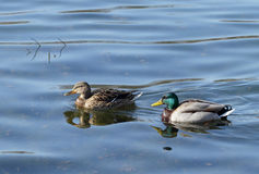 Couples des canards sauvages Photos libres de droits