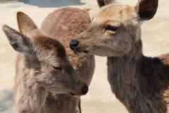 Couples des cerfs communs - Miyajima - Japon Image stock