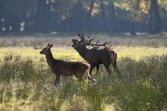 Couples des cerfs communs rouges en automne Photo stock