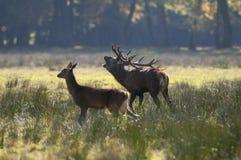 Couples des cerfs communs rouges en automne Photo stock