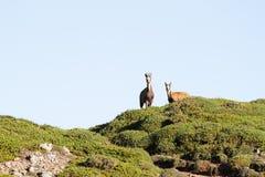Couples des chamois sauvages Image libre de droits