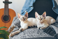 Couples des chats purs de Devon Rex de race Image stock
