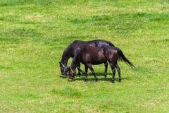 Couples des chevaux frôlant aux pâturages verts Photographie stock libre de droits