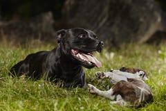 Couples des chiens de bull-terrier du Staffordshire en parc Image libre de droits