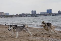 Couples des chiens enroués jouant sur le bord de la mer Image libre de droits
