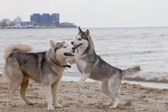 Couples des chiens enroués jouant sur le bord de la mer Images stock
