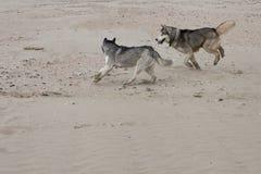 Couples des chiens enroués jouant sur le bord de la mer Images libres de droits
