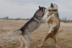 Couples des chiens enroués jouant sur le bord de la mer Image stock