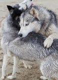 Couples des chiens enroués jouant sur le bord de la mer Photos stock