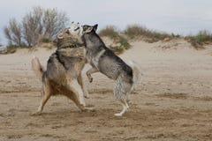 Couples des chiens enroués jouant sur le bord de la mer Photographie stock libre de droits