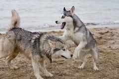 Couples des chiens enroués jouant sur le bord de la mer Photo libre de droits
