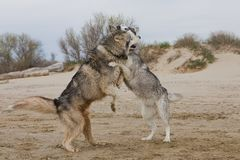 Couples des chiens enroués jouant sur le bord de la mer Photographie stock
