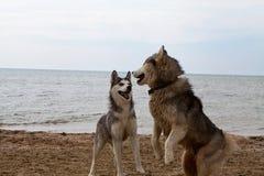 Couples des chiens enroués jouant sur le bord de la mer Photo stock