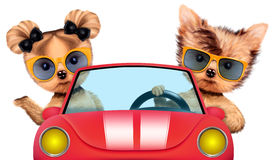 Couples des chiots se reposant dans un cabriolet Photographie stock libre de droits