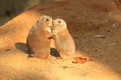 Couples des crabots de prairie Image libre de droits