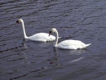 Couples des cygnes Photographie stock libre de droits