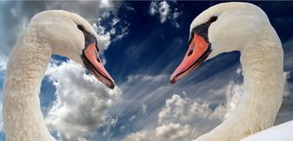 Couples des cygnes Photos libres de droits