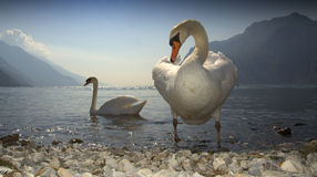 Couples des cygnes Photos stock