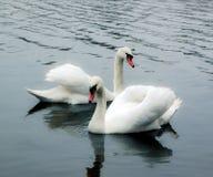 Couples des cygnes Image libre de droits