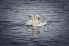 Couples des cygnes Photo libre de droits
