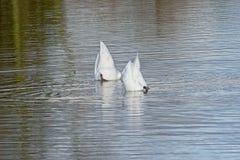 Couples des cygnes avec leurs têtes sous l'eau et des tailss  Photographie stock