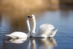 Couples des cygnes blancs Photo libre de droits