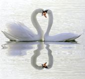 Couples des cygnes dans l'amour photo stock