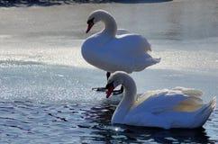 Couples des cygnes dans un lac congelé Photographie stock libre de droits