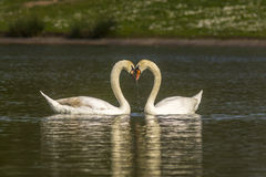 Couples des cygnes muets Photos stock