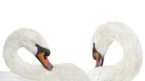Couples des cygnes muets blancs se toilettant après un bain, d'isolement Images stock