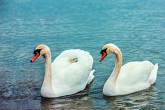 Couples des cygnes nageant dans le lac Image libre de droits
