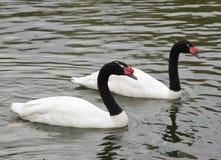Couples des cygnes noirs et blancs nageant Image stock