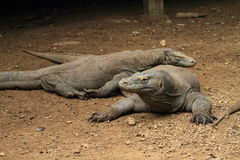 Couples des dragons de Komodo Images libres de droits