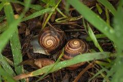 Couples des escargots dans le jardin sur l'herbe verte Image libre de droits