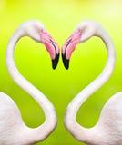 Couples des flamants Photo libre de droits