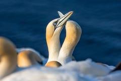 Couples des fous de Bassan du nord dans la colonie d'élevage à l'île Helgoland Photographie stock